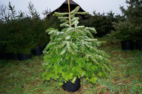 christen garten und landschaftsbau ag weihnachtsbaum mieten. Black Bedroom Furniture Sets. Home Design Ideas
